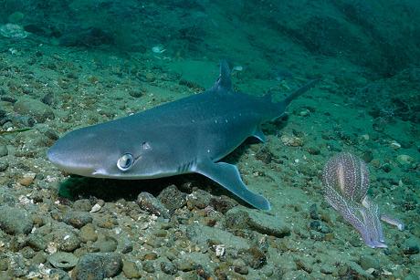Mako žralok pripojiť ksot rýchlosť datovania